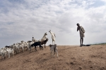 Kenya, Turkana County, March 2018 - The shepherds head for the grazing. According to the NCCAP, approximately 60 per cent of the country's livestock is found in the ASALs (arid and Simi-Arid Lands), which constitute about 80 per cent of the country's land mass and which are home to 30 per cent of the country's population. The land in most of these areas is communal and not owned by individuals